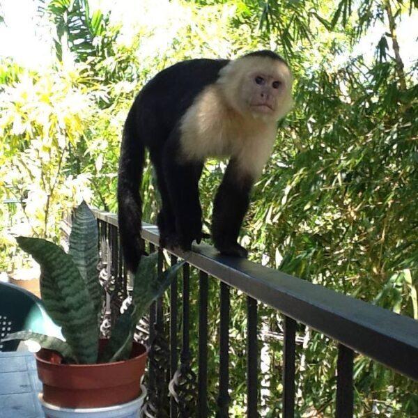 monkey visiting Tico Tico Villas