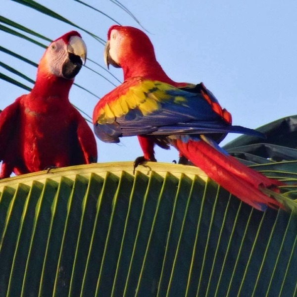 macaws in a tree looking at each other at