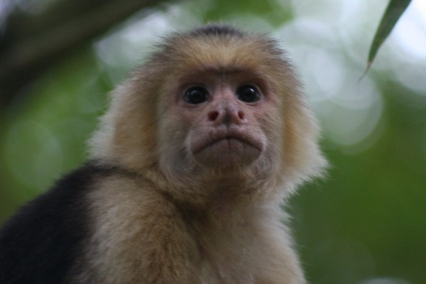 capuchin monkey planning his next steal