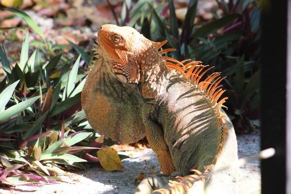 iguana showing off his beard