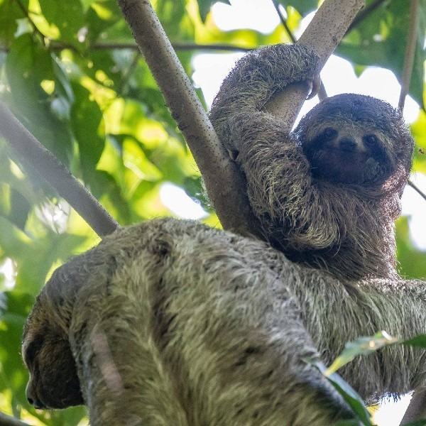 baby sloth relaxing in the tree with mama