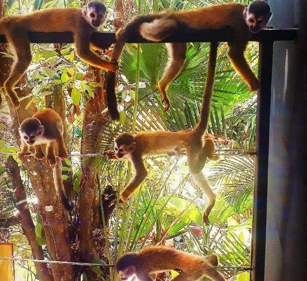 titi monkey troop relaxing on the balcony