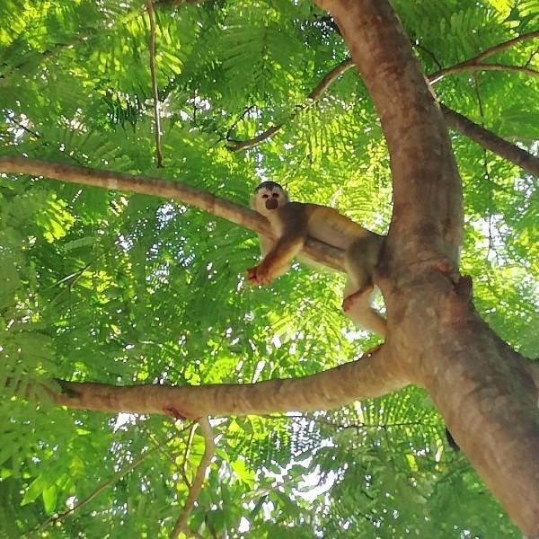 titi monkey take a little break in the treetops