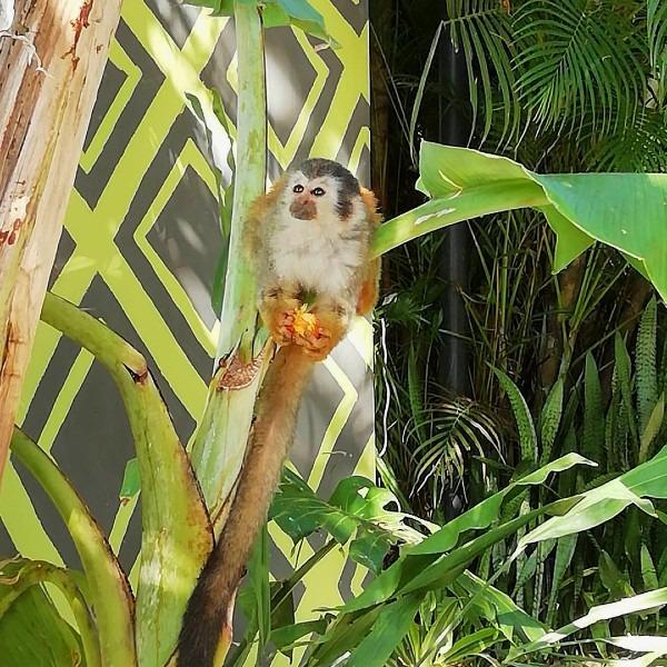 titi monkey posing with palm fruit.