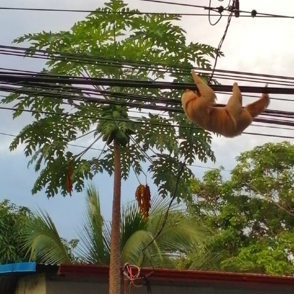sloth on electrical wires