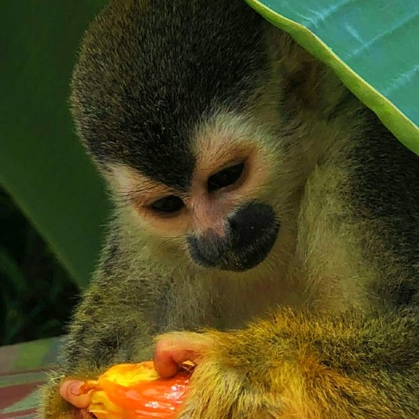 titi monkey is doing a food inspection