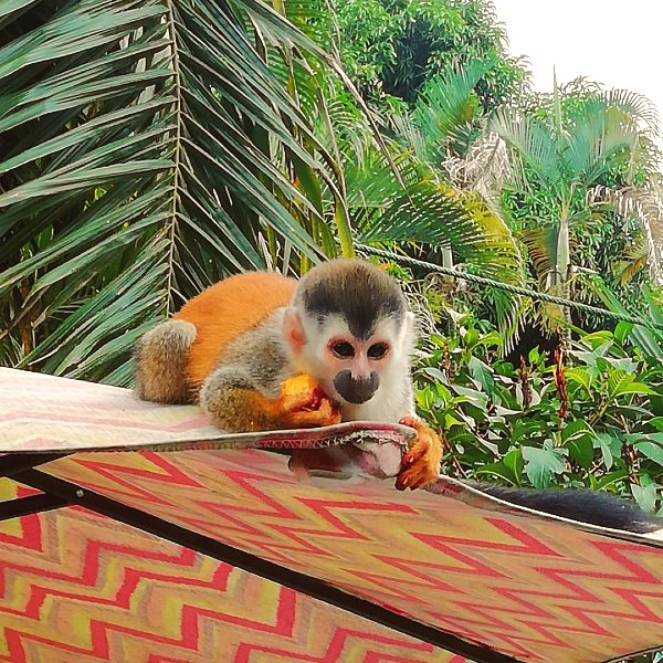 titi monkey eating palm fruit at the pool